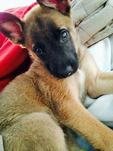 Evelyn the Belgian Malinois Mix | Dogs | Daily Puppy