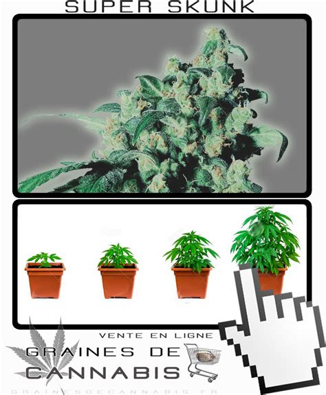 graines de skunk cannabis