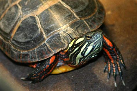 painted turtle turtles storm lake ia official website