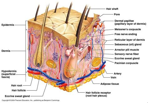 sexyskin diagram of the skin