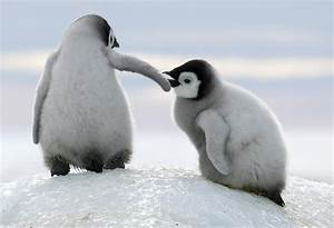 Emperor Penguin Chicks by David Yarrow Photography