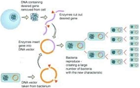 genetic engineering recombinant dna  ruckaufmaik