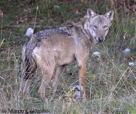 italian wolf japari library  kemono friends wiki