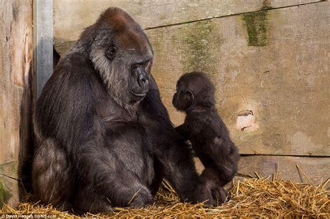 Parent with Baby Gorilla