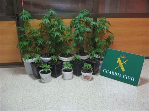 Dos imputados por cultivar 12 plantas de marihuana en Teror.
