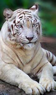 animal | Singapore zoo, Animals, White bengal tiger