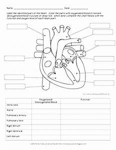 Circulatory System Coloring Page At Getcolorings Com