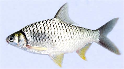 Wanita Hamil 7 Bulan 8 Cara Budidaya Ikan Tawes Agar Mendapatkan Hasil Yang