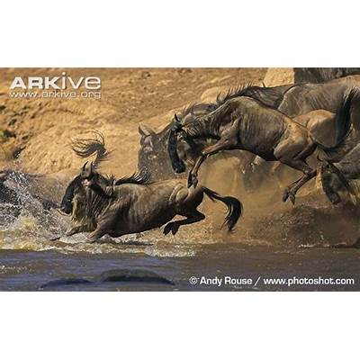 Blue wildebeest videos photos and facts - Connochaetes