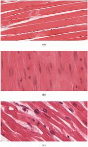 10 1 Overview Of Muscle Tissues