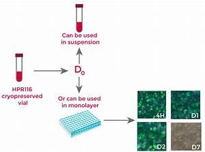 Heparg - Differentiated Heparg Cells