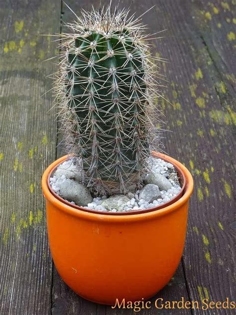 saguaro kaktus carnegiea gigantea samen saatgut