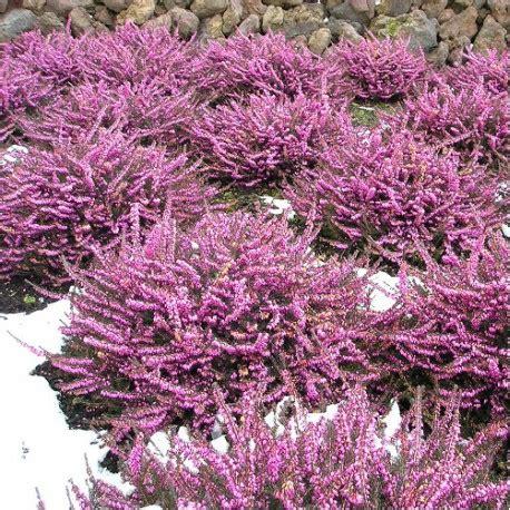 erica darleyensis rose bruy 232 re d hiver rose achat vente