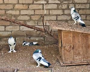 Pin Pouter Pigeon For Sale In Thrissur Kerala Classified ...
