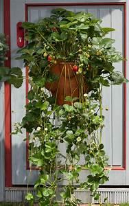 Erdbeeren Pflanzen Die Wichtigsten Tipps : erdbeeren richtig pflanzen erdbeeren im hochbeet ~ Lizthompson.info Haus und Dekorationen
