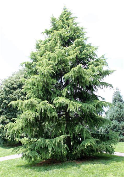 deodar cedar growth rate cones varieties