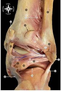 Posterior View Of The Anatomic Dissection Of The Ankle