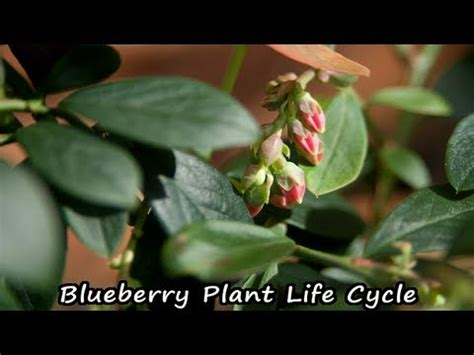 blueberry plant life cycleblueberry flower  berry