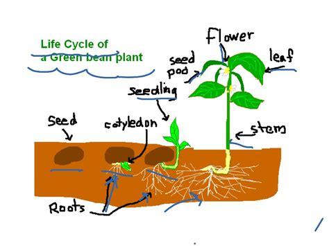 Life Cycle Of A Green Bean Plant  Life Cycle Showme