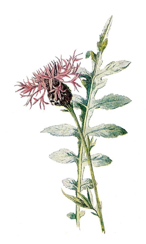 antique images digital stock flower image