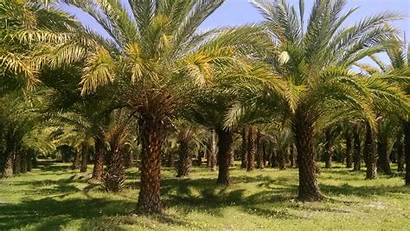 Sylvester Palm Tree Date Farm Trees India