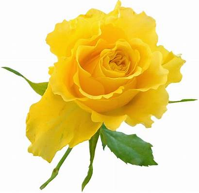 Yellow Transparent Flower Roses Clip Rose Clipart