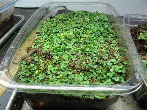Reuse Empty Plastic Lettuce Containers As Mini Greenhouses