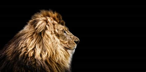 lion stock  pictures royalty  images