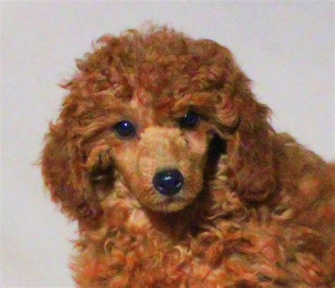 teddy bear cut grooming styles  poodles  scarlet