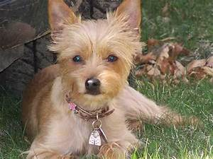 Chorkie Dog Breed » Chihuahua Yorkshire Terrier Mix