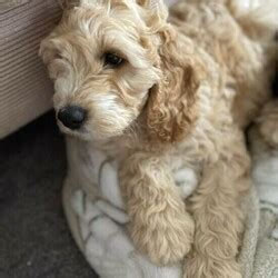 Female Cocker Spaniel is available for adoption