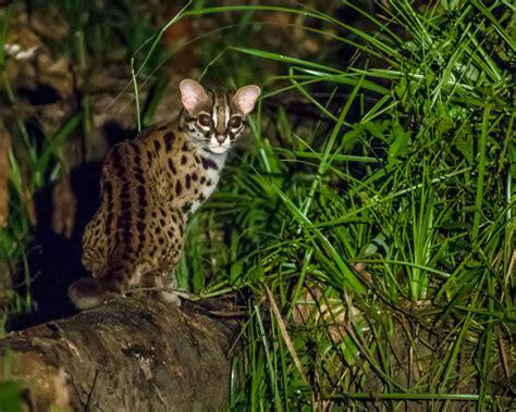 leopard cat facts diet habitat pictures  animaliabio