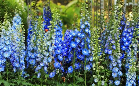 delphinium care in pots growing delphiniums in pots 28 images lupins and delphiniums gardening forum gardenersworld