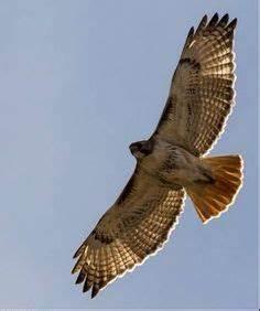 red tail hawk | pics for project 1 | Hawk tattoo, Tattoos ...