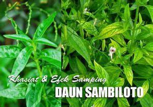 manfaat daun sambiloto efek samping mengkonsumsi