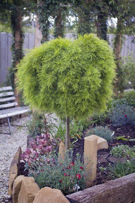 favourite acacia raised   heights gardendrum
