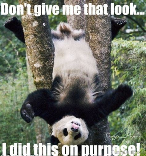 Meme Panda - 15 cutest panda memes which ruled the internet viral slacker