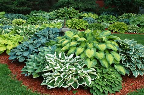 are hostas perennials or annuals super natural landscapes perennials for shade gardens