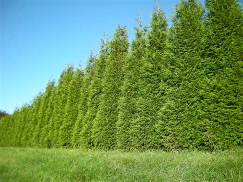 8 Fast Growing Evergreens Trees We Should Know Home