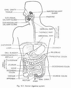 Main Parts Of Human Digestive System  With Diagram