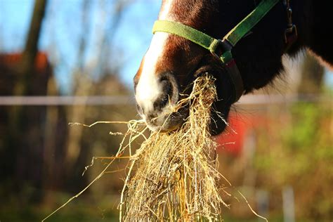 horses hay horse roughage fibre feed hygain forage type vs goat sheep pasture being