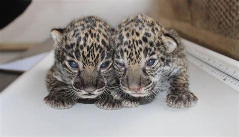 newborn jaguar cubs born  elmwood park zoo