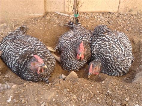 Need Quiet Chicken Breeds  Page 4