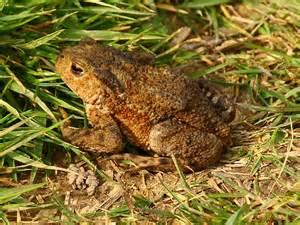 Poisonous Toad Species