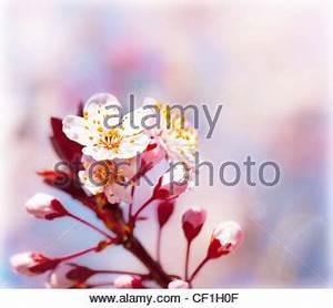 Rosa Blühender Baum Im Frühling : bl hende sakura zweig stockfoto bild 63701042 alamy ~ Lizthompson.info Haus und Dekorationen
