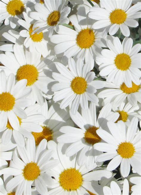 Vintage Floral Wallpaper Desktop Daisies Flowers Photo 35832090 Fanpop
