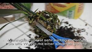 Orchideen Umtopfen Video : orchidee umtopfen in ein glas youtube ~ Watch28wear.com Haus und Dekorationen