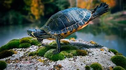 Turtle Wallpapers 1080p Backgrounds Pixelstalk