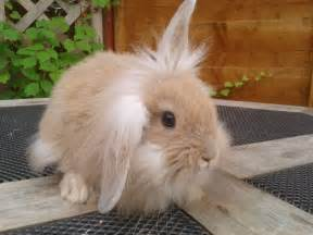 Baby Lionhead Lop Rabbit