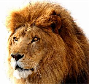 Lion PNG image, free image download, picture, lions ...